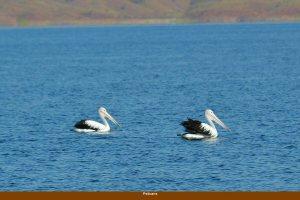 020-pelicans